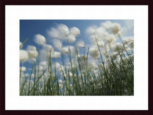 Printfinders Aging Flowers of Dandilions Still Rooted in the Dirt Move with the Wind by Michael Melford National Geographic Art Print