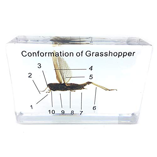 Acrylic Paperweight Shape (Conformation of Grasshopper Specimen in Acrylic Block Paperweights Science Classroom Specimens for Science Education)