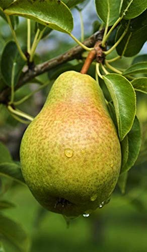 (5 Gallon) PINEAPPLE PEAR tree, unique tangy pineapple-like flavor. Fruits are large in size, yellow with reddish tint color, white flesh, ripens early. An ideal variety for the south.