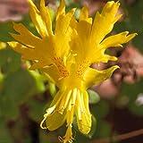 Outsidepride Nasturtium Canary Creeper - 100 Seeds