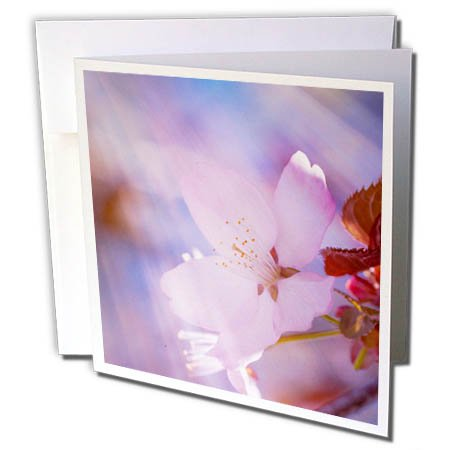 3dRose Alexis Photography - Flowers Sakura - Cherry sakura flower, heavenly light, pink and blue colors - 12 Greeting Cards with envelopes (gc_271367_2)