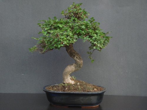 Indoorbonsaiexotics Chinese Elm by Unknown