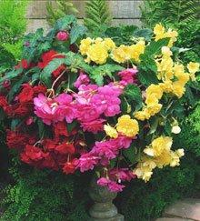 Begonia Hanging Basket - 1 Begonia - Hanging Basket - Mixed bulbs