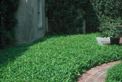 Classy Groundcovers - Trachelospermum asiaticum {50 Bare Root Plants} by Classy Groundcovers (Image #9)