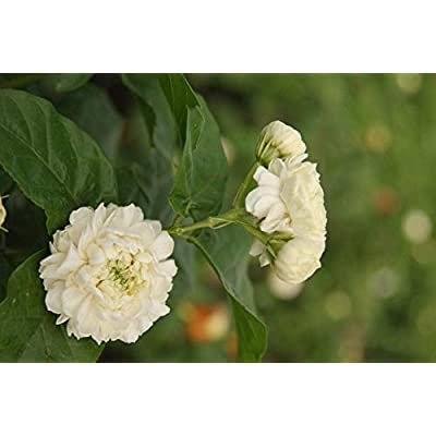 AchmadAnam - Live Plant - Grand Duke Arabian Jasmine - 1 Plants - 2 to 3 Feet Tall - Ship in 1 Gal Pot. E9 : Garden & Outdoor