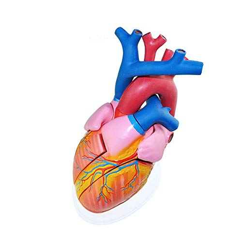 Heart Anatomical Model, 56 Times Human Body Biology Teaching Demonstration Medical Explanation, Learning Resources Cross-Section Human Heart Model