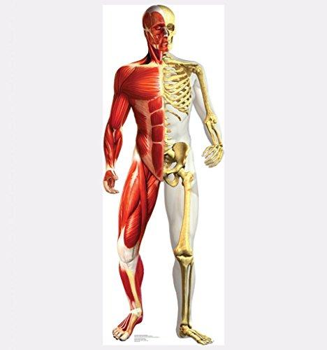 Anatomy Half Muscle Half Skeleton - Advanced Graphics Life Size Cardboard Standup