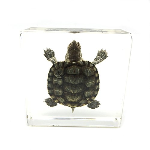 Amazingbug Real Turtle Specimen Paperweights Specimen for Science Education Paperweight for book for office for desk