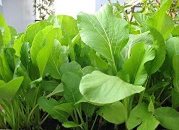 Cabbage Sweet - Plentree 1 Packet (500+ Seeds) - Sweet Cabbage - CAI Ngot - Seeds