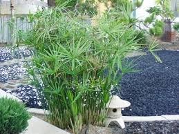 - 20 Seeds Umbrella Plant Cyperus Alternifolius seeds bonsai DIY home garden