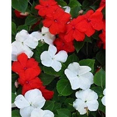 Mixed Impatiens 50 Seeds - Impatiens Walleriana Flower Seed, Baby Red and Baby White Impatiens Flower Seeds, Balsam Flower Non GMO Heirloom Seeds, Annual Flower Seeds for Planting : Garden & Outdoor