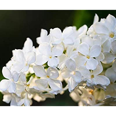 50 Avalanche Lilac Seeds Bloom Perennial Flowers Fragrant Seed Flower Shrub Bush : Garden & Outdoor