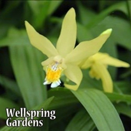 bletilla-ochracea-chinese-ground-orchid-hardy-zone-6-live-plant-butterfly