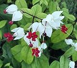 1 Bleeding Heart Vine Clerodendrum thomsoniae Live Starter Plant Flower Rare MHWK60