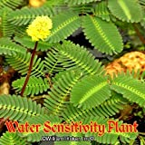 Water Sensitivity Plant Live Aquatic Plant - Group of 3