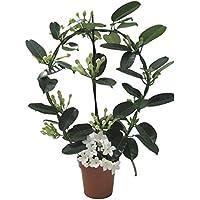 Jazmín de Madagascar Stephanotis Floribunda Planta Natural