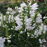Outsidepride Obedient Plant White - 1000 Seeds