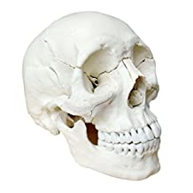 Human Medical Anatomical Adult Osteopathic Skull Model, 22-Part Bone Color