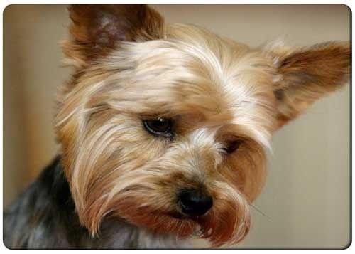"Sad Yorkshire Terrier refrigerator magnet 3"" x 5"" rectangular magnets"