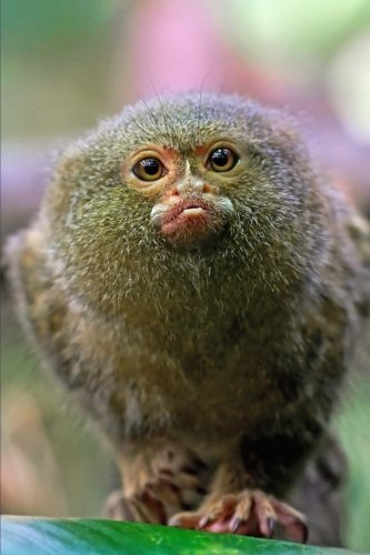 Adorable Pygmy Marmoset (Cebuella pygmaea) New World Monkey Journal: 150 Page Lined Notebook/Diary (New World Monkeys compare prices)