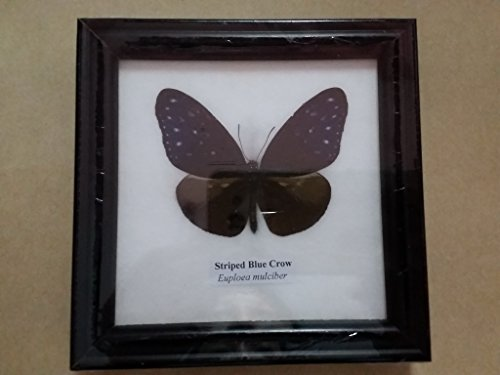 PICTURE FRAMES HOME DECOR Real STRIPED BLUE CROW Butterfly Framed Taxidermy Entomology Insect Display - Macy's Google
