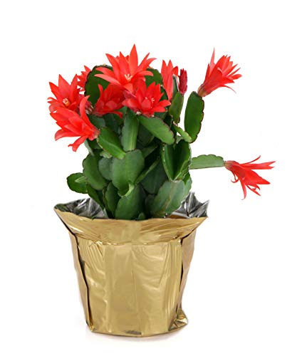 Costa Farms Live Christmas Cactus in 4in Gold Decor Pot Cover, Grower