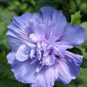 Hibiscus-Blue-Chiffon - QT Pot (Shrub) - Shipping Starts June 3rd