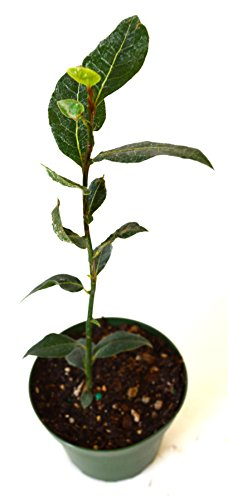 9GreenBox - Bay Laurel Herb - 4