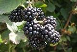 1 Marionberry Plant Live Rooted Plants Organic Zones 5-10 Not Dormant Fruit Plant #PLC