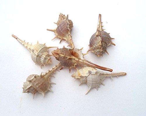 """3"""" beautiful Nautical murex sea shell Conch Shell Aquarium Fish"""