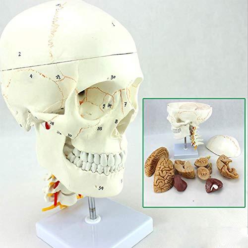 - SHUAI Skeleton Model Detachable Learning Resources Medical Training Anatomical Model Simulation Model Didactic Version