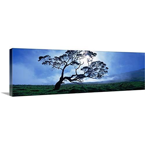 GREATBIGCANVAS Gallery-Wrapped Canvas Entitled Koa Tree on a Landscape, Mauna Kea, Kamuela, Big Island, Hawaii by 36