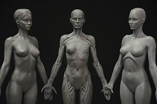 Female Artists Manikins Anatomy Figure Collection: Planar, Ecorche ...