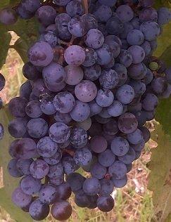 ZINFANDEL GRAPE VINE- 2 Year (Zinfandel Old Vine)