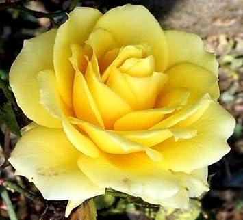 Amazon 5 yellow rose rosa bush shrub perennial flower seeds 5 yellow rose rosa bush shrub perennial flower seeds comb sh mightylinksfo Gallery