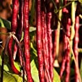 Chinese Red Noodle Bean Seed by Stonysoil Seed Company
