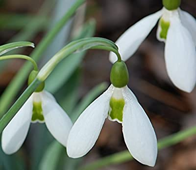 "Flowering Bulb ""Single Snowdrops - Galanthus Woronowii Ikariae"""