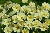 Cosmos Xanthos 250 seeds