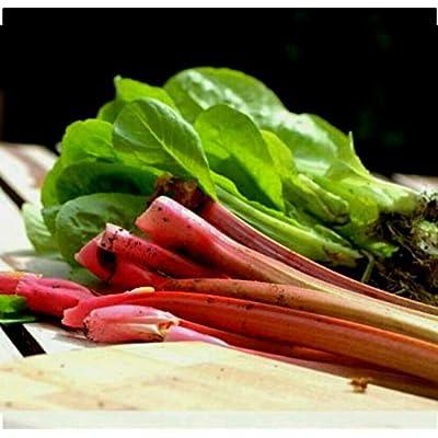 50+ Victoria Rhubarb Seeds Non GMO Open Pollinated Organic : Garden & Outdoor