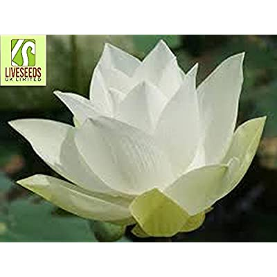 Liveseeds - Bowl lotus/water lily flower /bonsai Lotus /ponds /5 Fresh seeds/Wide white lotus : Garden & Outdoor