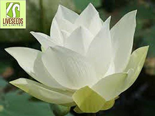 Liveseeds - Bowl lotus/water lily flower /bonsai Lotus /ponds /5 Fresh seeds/Wide white (Lotus Pond Plants)
