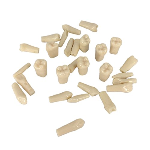 YOUYA DENTAL Replace Teeth Whole Set 28 Pcs Spare Teeth for Learning - Spare Models