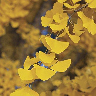 GINKGO BILOBA - Maidenhair Tree - LEAVES ARE USED TO ENHANCE MEMORY 2 - Year Tree