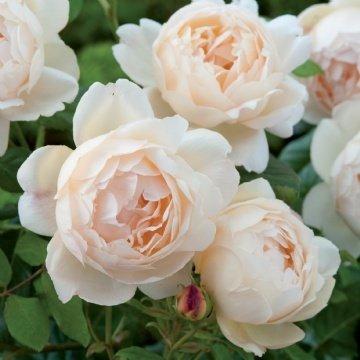 Hall Rose - 7