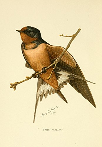 Posterazzi Second Book of Birds 1901 Barn Swallow Poster Print by L.A. Fuertes, (18 x 24)