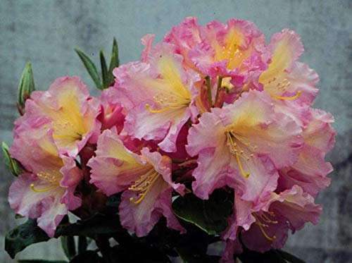 """(Rhododendron Hoopla- Pale Pink with Yellow Centered Bloom- Grows Five Feet Tall - Quart Plant – Typically in a 3"""" or 4"""" Container)"""