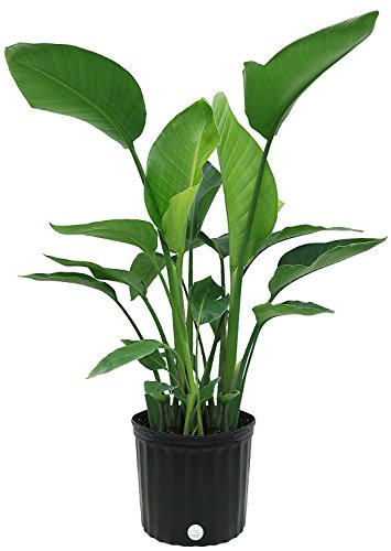 Costa Farms, Premium Live Indoor Strelitzia Nicolai, White Bird of Paradise Floor Plant in 9.25-Inch Grower Pot, Shipped Fresh From Our Farm, Excellent Gift by Costa Farms
