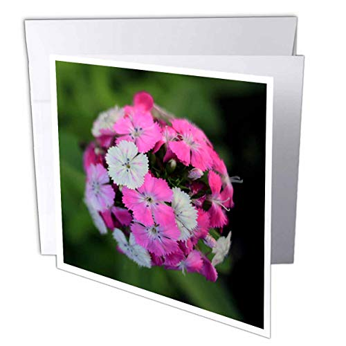 3dRose Stamp City - Flowers - Close up Photo of Dianthus barbatus - Sweet William in Shades of Pink. - 12 Greeting Cards with envelopes (gc_308721_2) ()