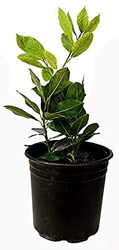 9GreenBox Bay Laurel Plant One -