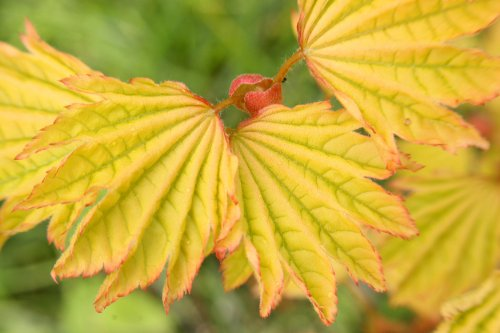 (Sunglow Oregon Vine Maple - 3 Year Live Plant)